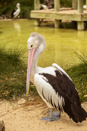 Beautiful white pelican in a park, Australia, Adelaide. The large water bird have a rest in a sunny summer day