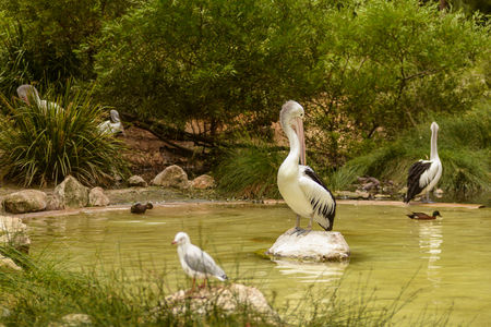 Beautiful white pelicans in a park, Australia, Adelaide. The large water birds have a rest in a sunny summer day 免版税图像 - 121515607