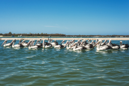 A group of pelicans enjoying a sunny day in the sea, Australia, Gold Coast. Many white wild pelicans swim in the bay 免版税图像 - 121515610