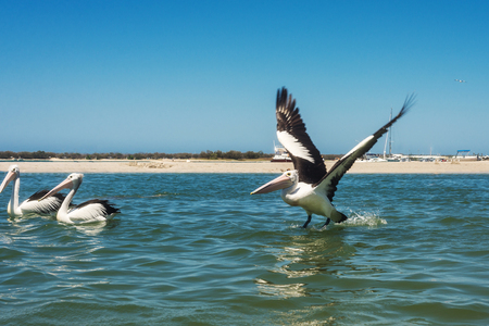 A group of pelicans enjoying a sunny day in the sea, Australia, Gold Coast. Many white wild pelicans swim in the bay 免版税图像