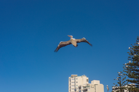Wild Pelican soars in the blue sky, Australia. Pelican flying with spread wings, top view, the concept of freedom and independence 免版税图像