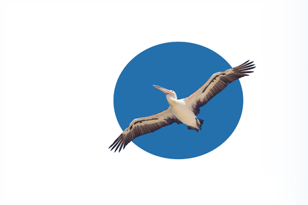White pelican flying with spread wings in the blue sky, isolated in circle. Suitable for web design, postcard, there is free space for inscriptions, concept of freedom and independence