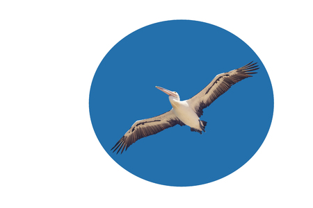 postcard with a pelican that flies with spread wings in the blue sky, isolated in circle. Suitable for web design, postcard, there is free space for inscriptions, concept of freedom and independence 免版税图像 - 121515742