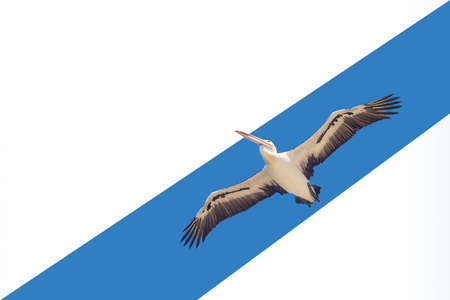 White pelican flying with spread wings in the blue sky, isolated. Suitable for web design, postcard, there is free space for inscriptions, concept of freedom and independence 免版税图像