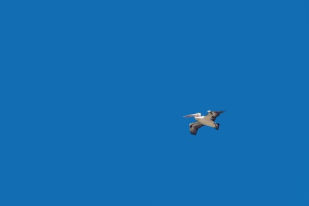 Wild Pelican soars in the blue sky, Australia. Pelican flying with spread wings, the concept of freedom and independence, isolated on blue background
