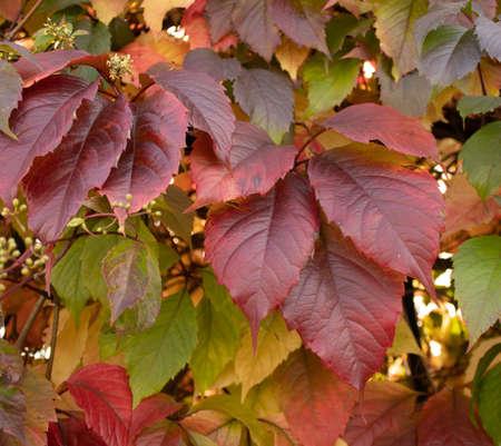 Ivy and Virginia creeper Parthenocissus quinquefolia foliage in Autumn