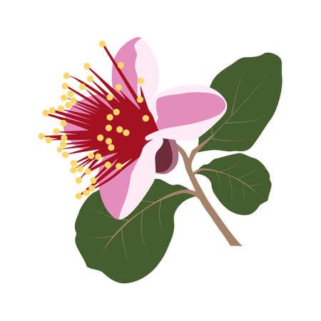 Feijoa flower. Vector Illustration EPS on White Background