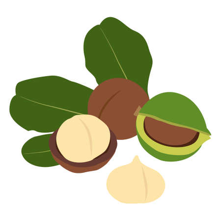 Macadamia nut in shell and peeled. Vector Illustration.  イラスト・ベクター素材