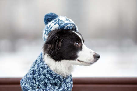 Young female dog of border collie breed black and white color in warm knitted elegant hat or beret with pompon and scarf sitting on bench at winter street