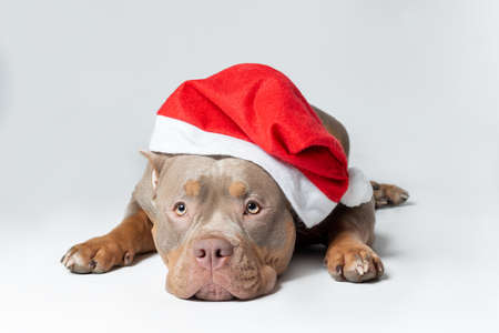 Female dog of american bully breed of lilac tri color in santa claus red hat lying down at the gray background with serious face