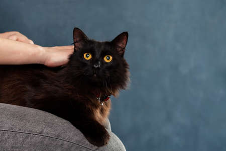 Black fluffy domestic cat lying down with comfort on owners knees. Pet portrait with copy space
