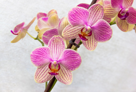 Pink and yellow phalaenopsis flowers  orchid  on white background