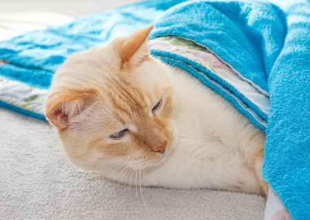cozy waking cat covered blue terry blanket photo