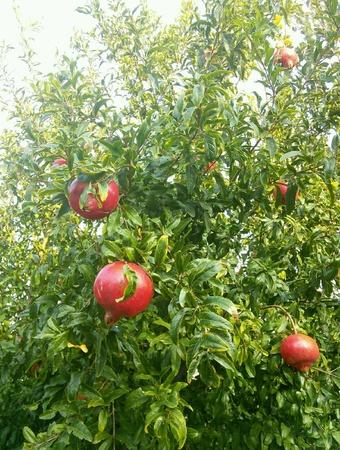 pomergranate: Pomergranate on tree Stock Photo