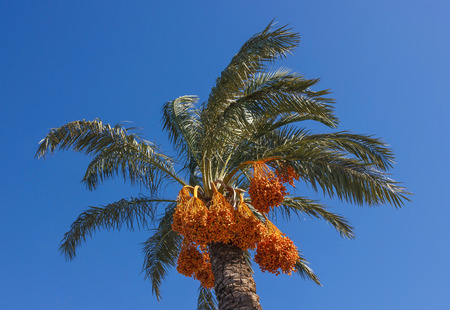date palm on blue sky background photo