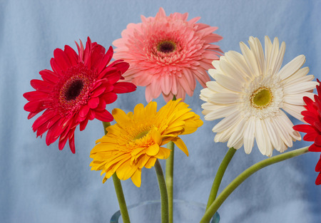gerbera flowers in a vase on a light blue background photo