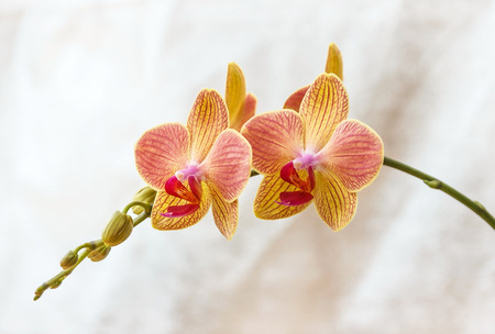 floriculture: Pink and yellow phalaenopsis flowers (orchid) on light gray background