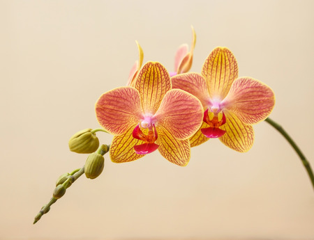 beauteous: Pink and yellow phalaenopsis flowers (orchid) on light yellow background Stock Photo