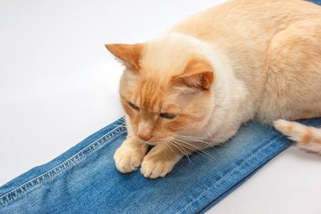 semi dress: light ginger blue-eyed cat lying on blue jeans