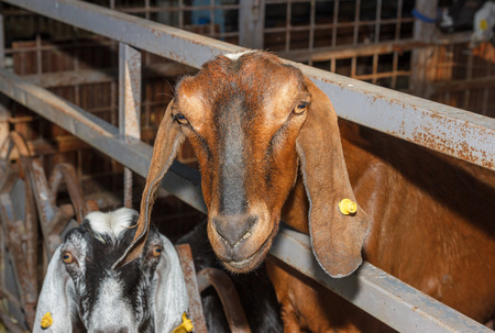 closeup cow face: Nubian goats red color in the barn