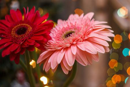 flores moradas: gerbera flowers with blur effect and Christmas bokeh