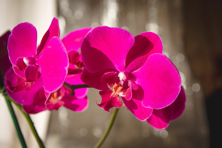 glow stick: Purple phalaenopsis flowers (orchid) on dark background with bokeh Stock Photo