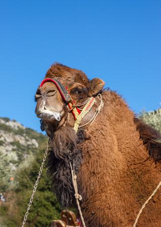 Portrait of a camel ready for fights, popular entertainment  on the Aegean coast of Turkey (Kusadasi). Stock Photo