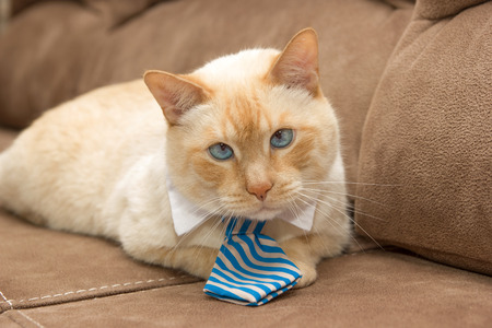 Cute light ginger blue-eyed cat in striped tie