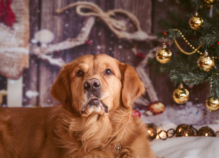 golden retriever dog  with funny bitten cheek on new year background with Christmas tree toys Standard-Bild - 97400535