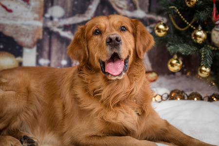 golden retriever dog on new year background with Christmas tree toys Standard-Bild - 97532154