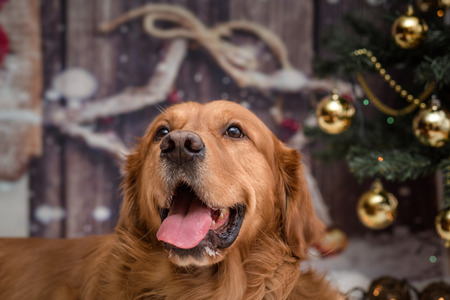 golden retriever dog on new year background with Christmas tree toys Standard-Bild - 97395833
