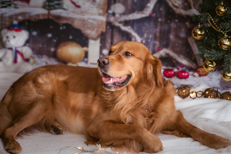 golden retriever dog on new year background with Christmas tree toys Standard-Bild - 97613207