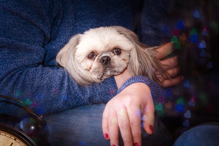 Shih-tzu dogs kneeling in front of man on New Year's background with bokeh Standard-Bild - 97687202