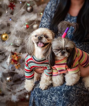 two shih-tzu dogs kneeling in front of  women on  New Year's background with abokeh Standard-Bild - 97653184