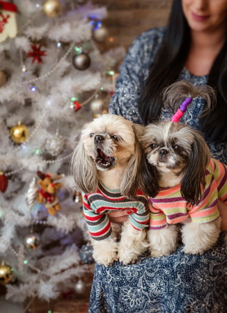 Two shih-tzu dogs kneeling in front of women on New Year's background with bokeh Standard-Bild - 97687203