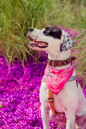 English pointer mix phenotype white dog in black dots with red leather collar with medallion and bandanna on purple delosperma flowers. Photos are toned and with a vignette Standard-Bild - 99878469