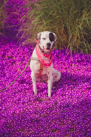 English pointer mix phenotype white dog in black dots with red leather collar with medallion and bandanna on purple delosperma flowers. Photos are toned and with a vignette Standard-Bild - 100258591