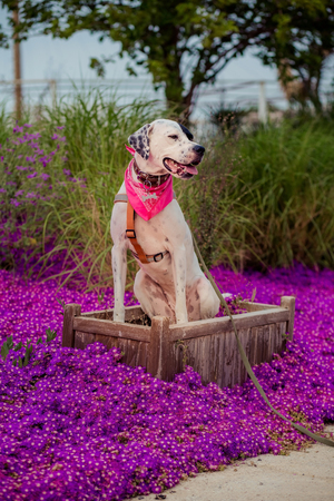 English pointer mix phenotype white dog in black dots with red leather collar with medallion and bandanna on purple delosperm flowers. Photos are toned and with a vignette Stock Photo