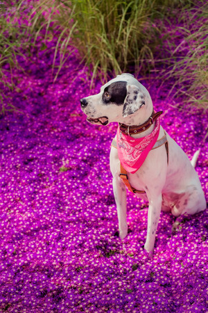 English pointer mix phenotype white dog in black dots with red leather collar with medallion and bandanna on purple delosperma flowers. Photos are toned and with a vignette Stock Photo