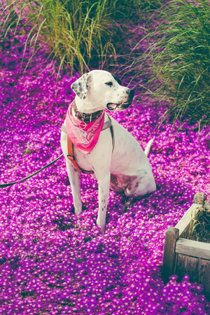 English pointer mix phenotype white dog in black dots with red leather collar with medallion and bandanna on purple delosperm flowers. Photos are toned and with a vignette Reklamní fotografie