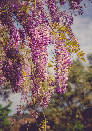 backgrounds with beautiful wisteria flowers Standard-Bild - 105302234