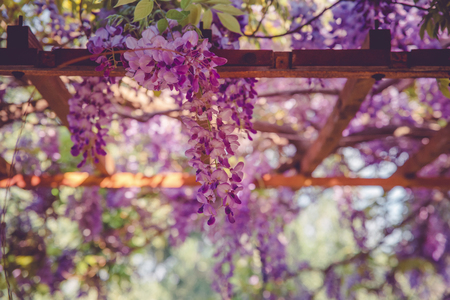 backgrounds with beautiful wisteria flowers with bokeh effect Standard-Bild - 105302235