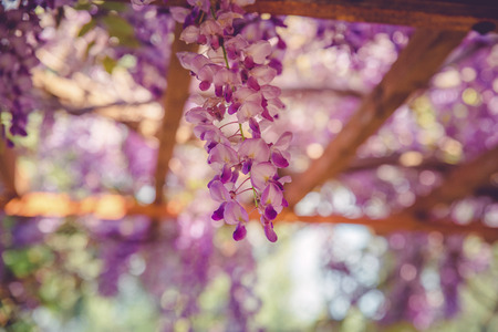 backgrounds with beautiful wisteria flowers with bokeh effect Standard-Bild - 105302236