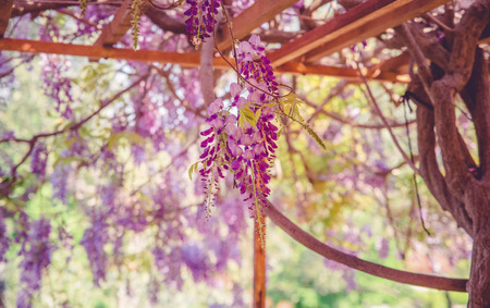 backgrounds with beautiful wisteria flowers with bokeh effect Standard-Bild - 105302237