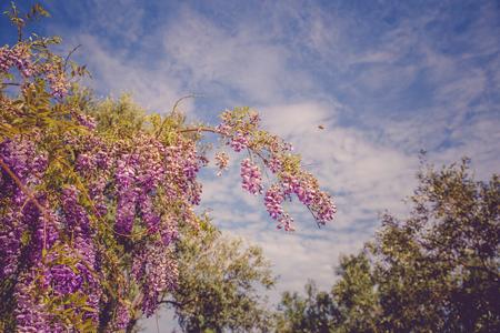 backgrounds with beautiful wisteria flowers Standard-Bild - 105302244