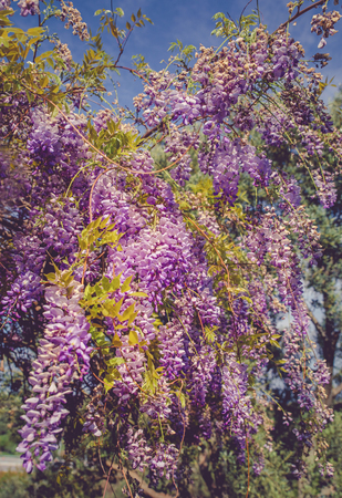 backgrounds with beautiful wisteria flowers Standard-Bild - 105302248