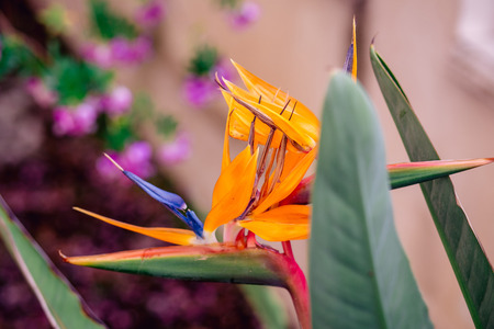 beautiful strelitzia flower on background with bokeh. photo with shallow depth of field Standard-Bild - 105302267