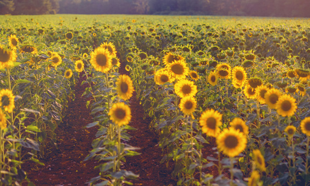 field of sunflowers at sunset. photo tinted warm with shallow depth of field Standard-Bild - 105302270