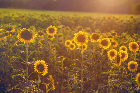 field of sunflowers at sunset. photo tinted warm with shallow depth of field Standard-Bild - 105302271