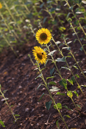 field of sunflowers at sunset. photo tinted warm with shallow depth of field Reklamní fotografie
